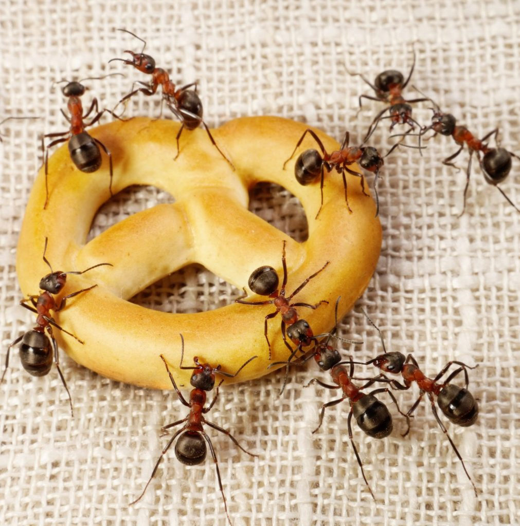 Dealing With Ants In Household
